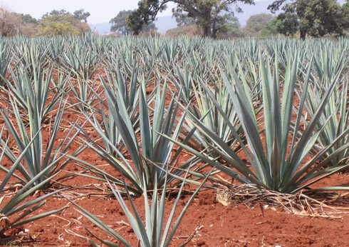 Tequila is made from the agave plant; blue agave is the superior variety