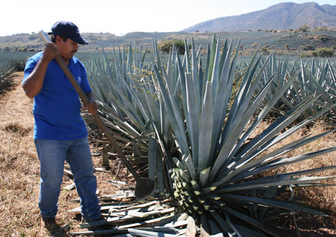 The agave plants are harvested by jimadors; only the heart of the agave is used in Tequila production